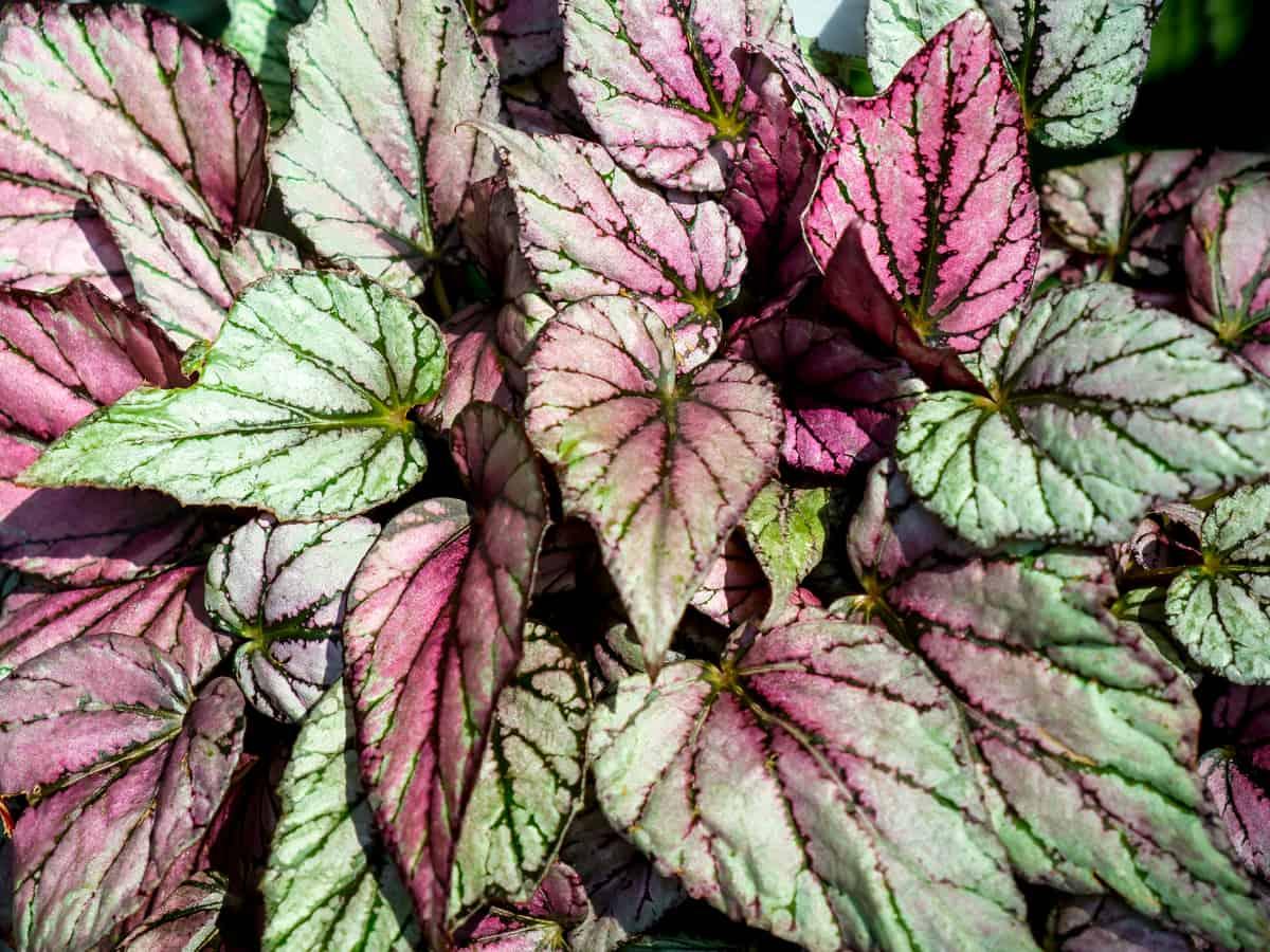 rex begonia is one of the best low light indoor plants