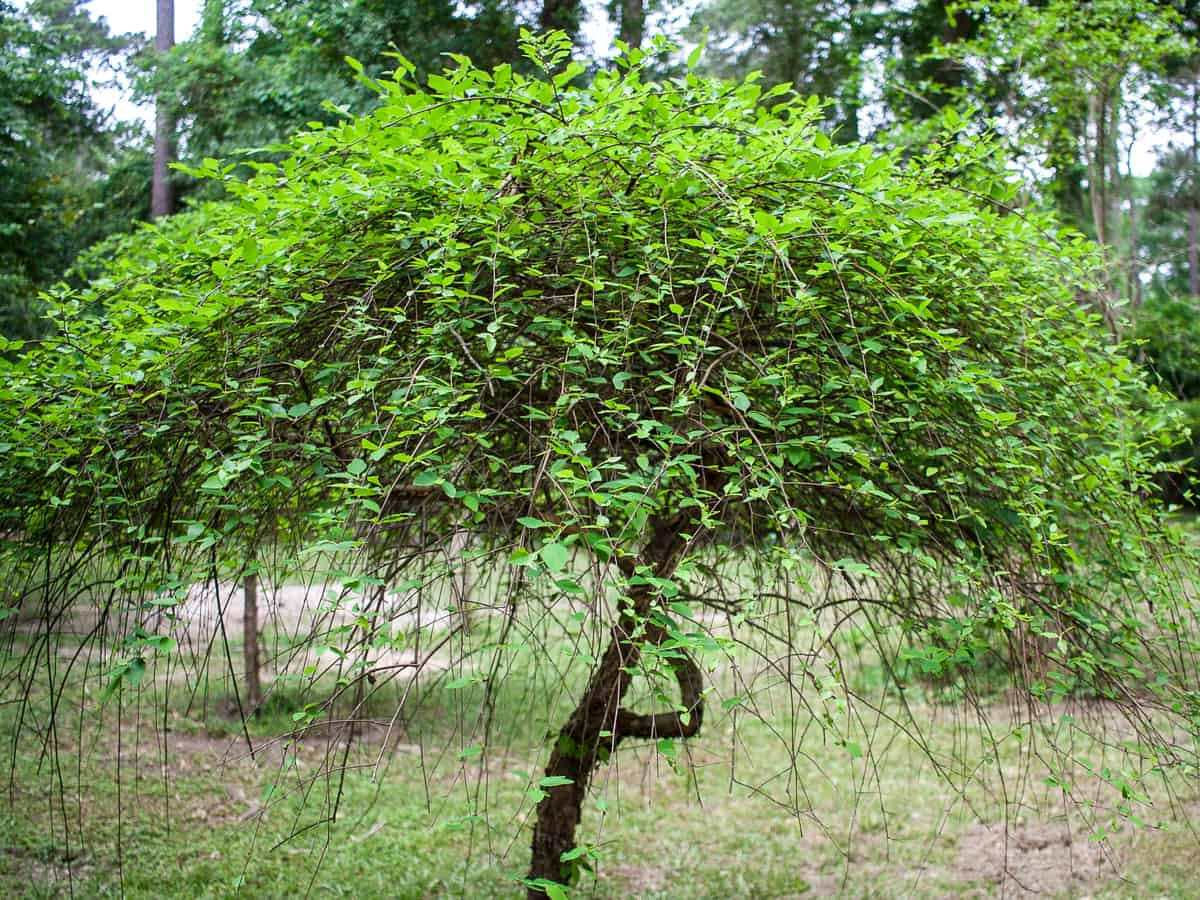 river birch can grow three feet a year