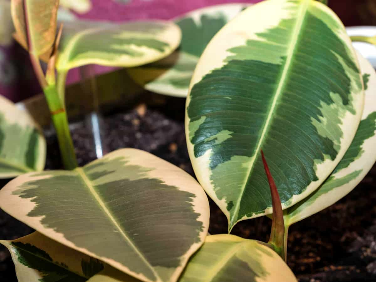 the rubber plant purifies the air but is toxic