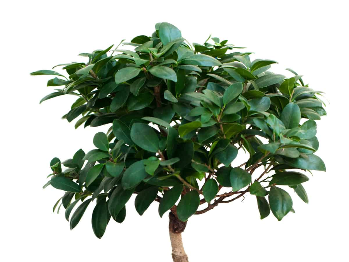 rubber tree grows quite large indoors