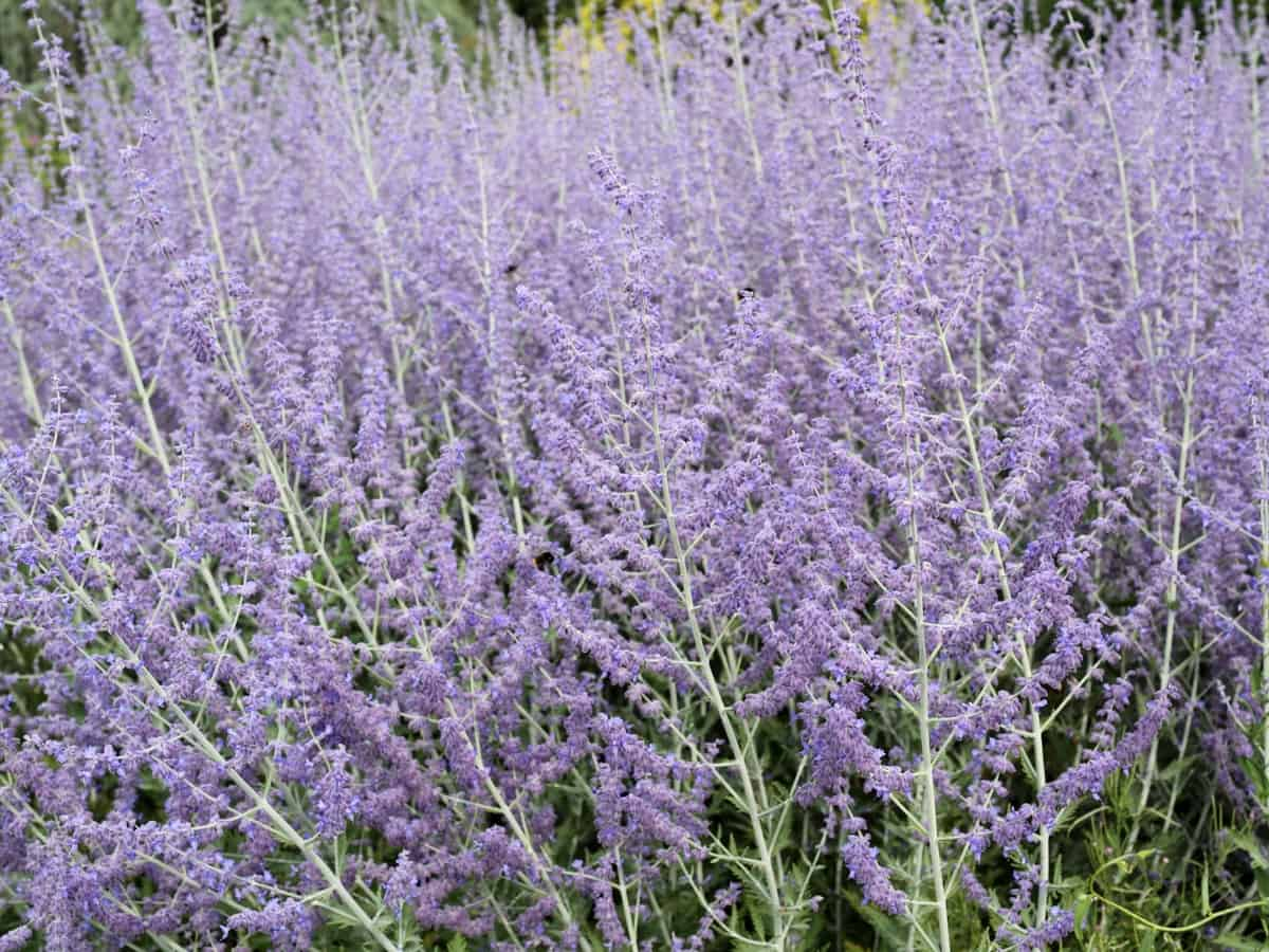 Russian sage is great for repelling all kinds of garden pests, including deer