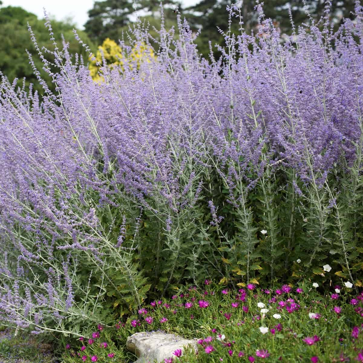 Russian sage is a perennial that blooms from spring to fall