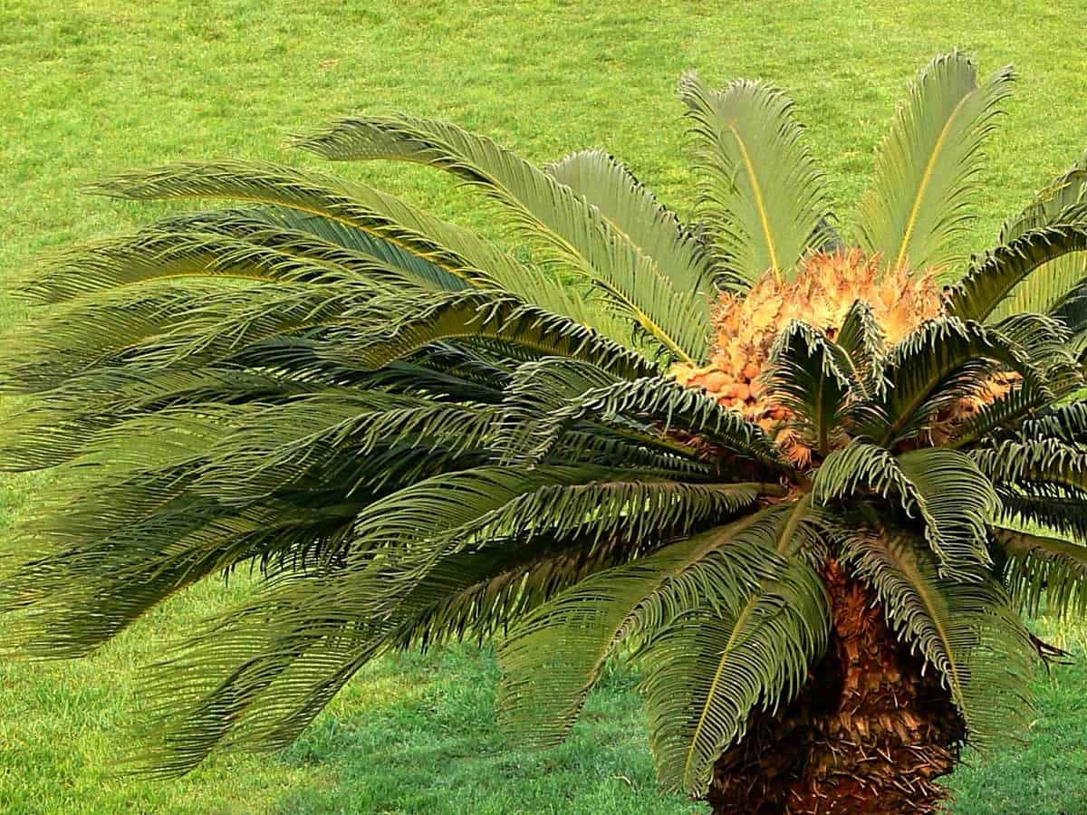 sago palm makes a beautiful indoor plant