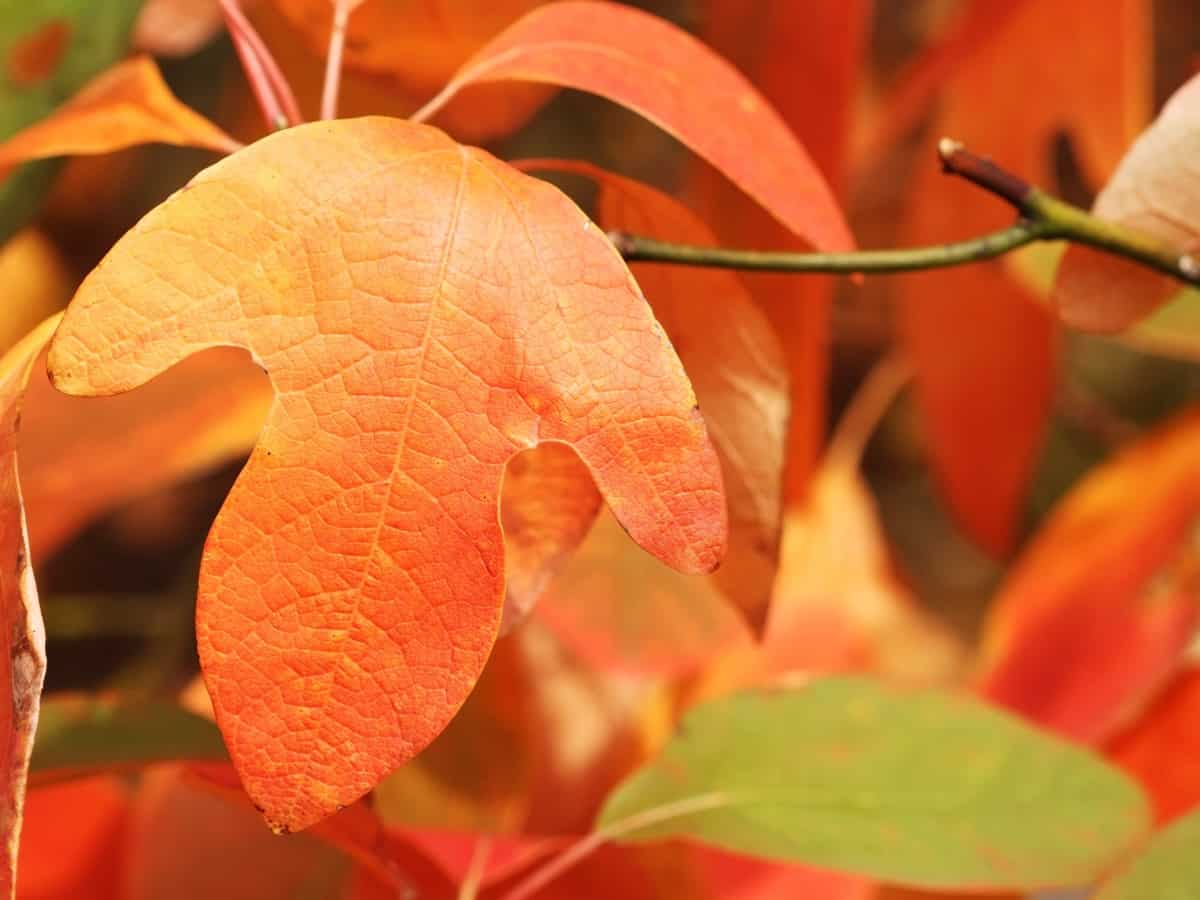 sassafras is a shade tree that looks good in all seasons