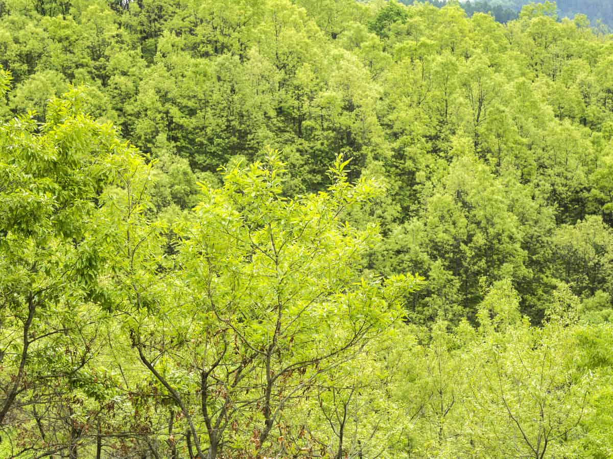 sawtooth oak grow two to three feet per year