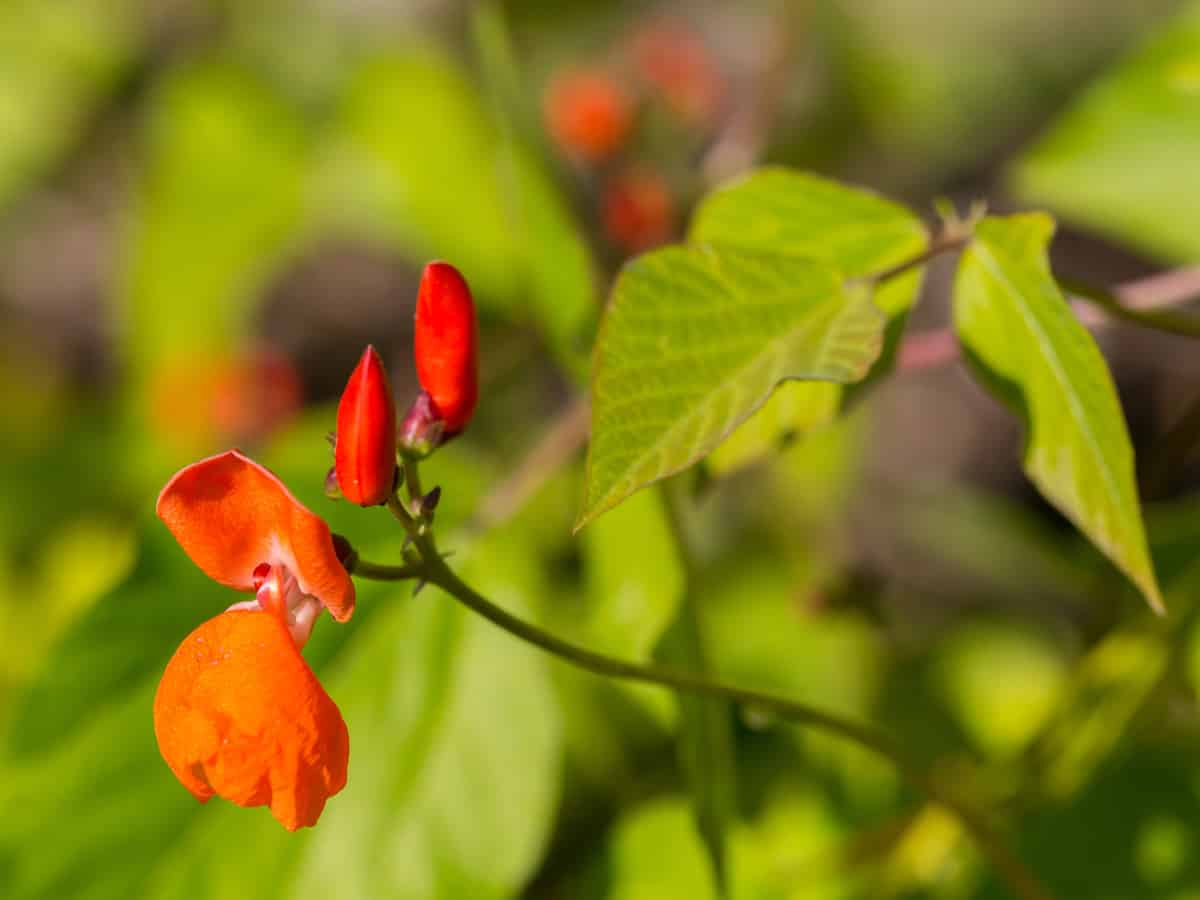 scarlet runner beans are a great perennial vegetable and ground cover