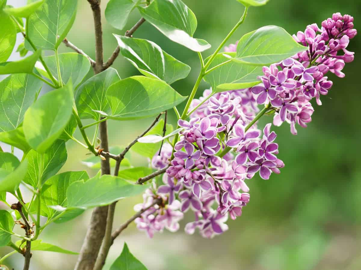 sensation lilac is a beautiful fast-growing privacy bush