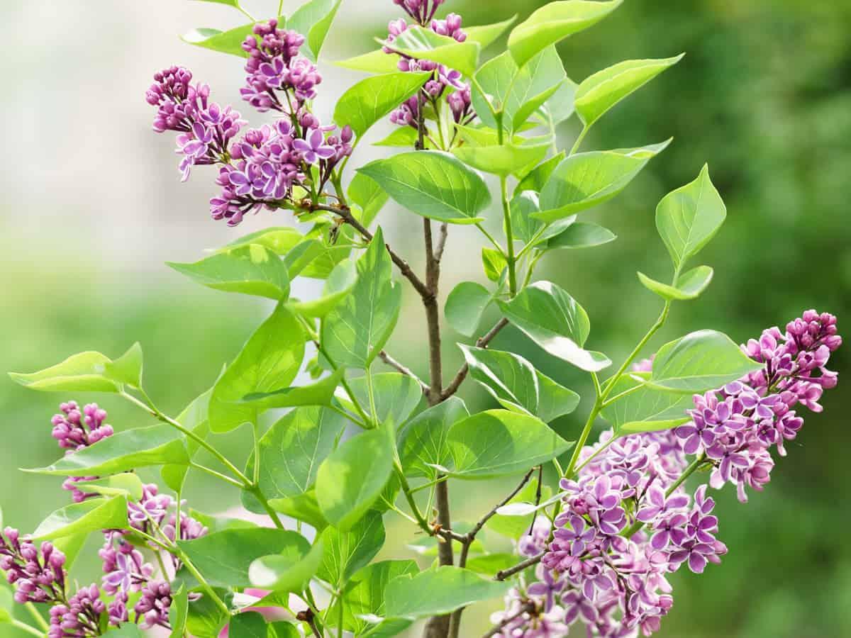 sensation lilac offers bicolor blooms