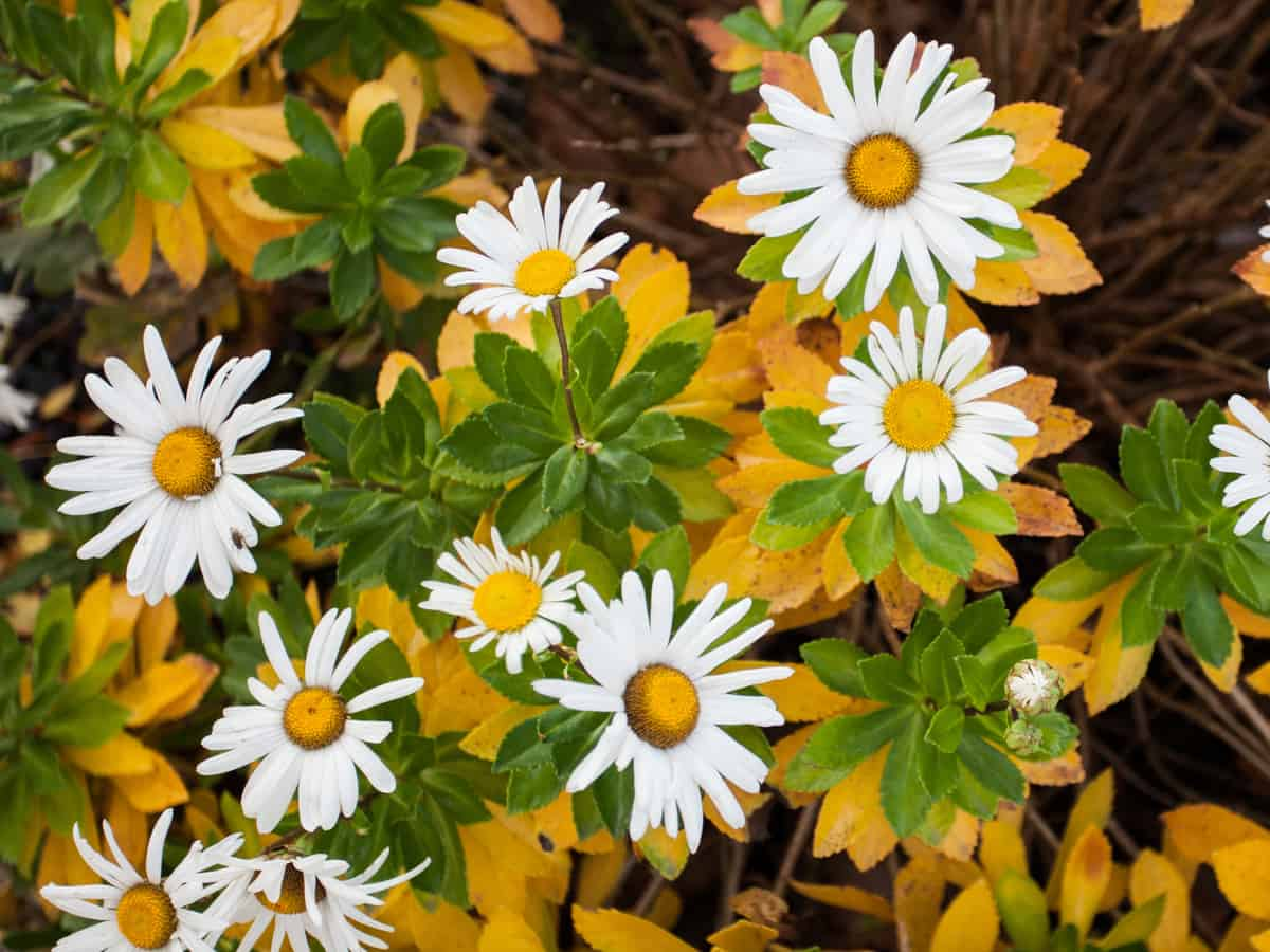 shasta daisy is a well-known perennial