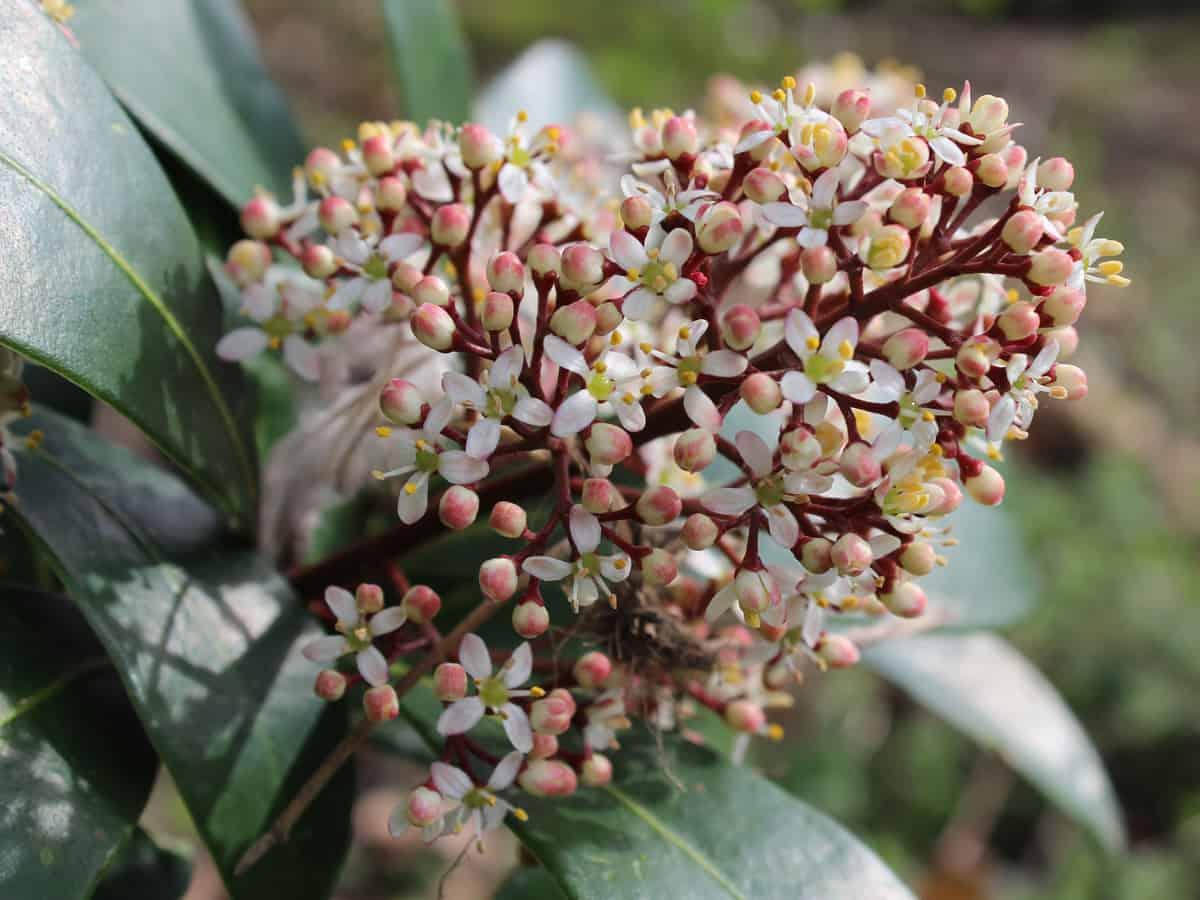 Japanese skimmia has fragrant flowers