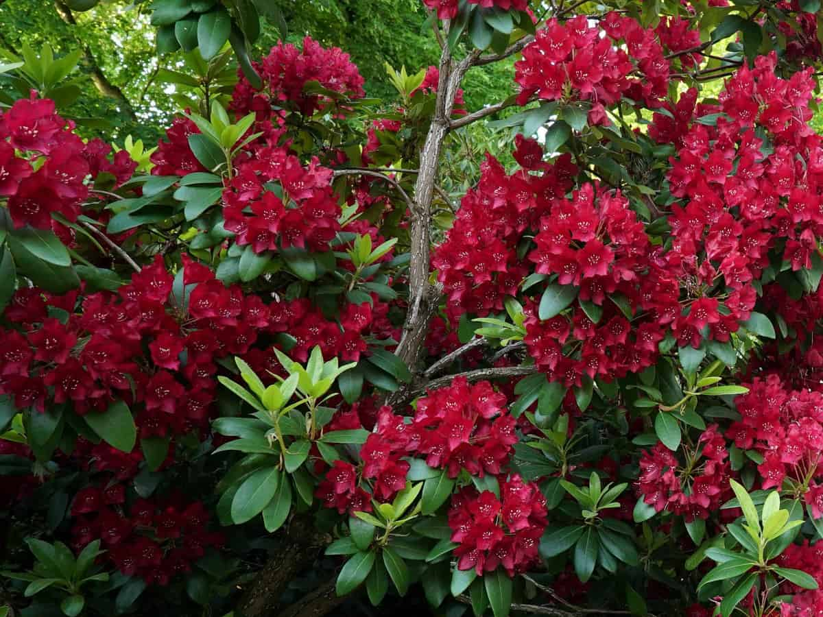 Southgate Brandi rhododendron is a heat-tolerant evergreen with vibrant color