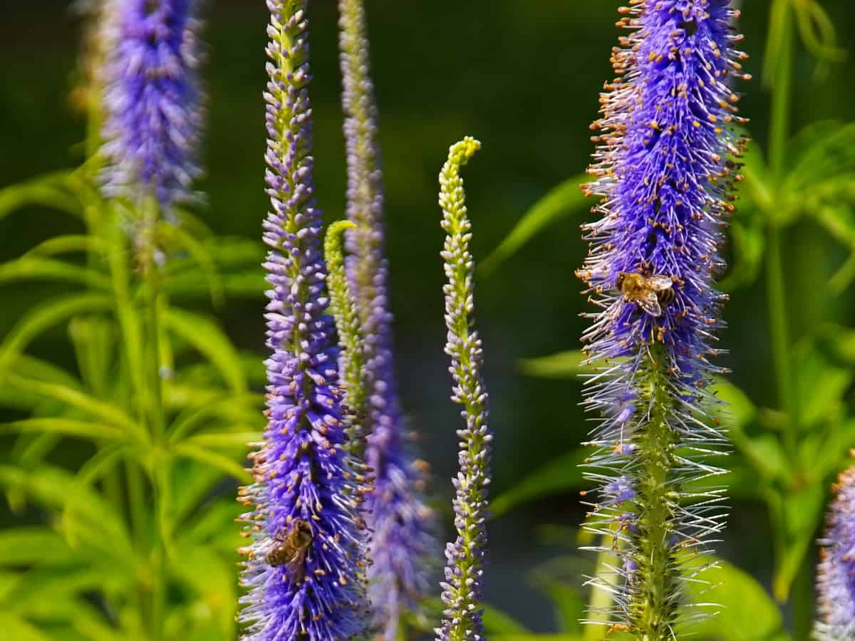 speedwell has attractive long flower spikes