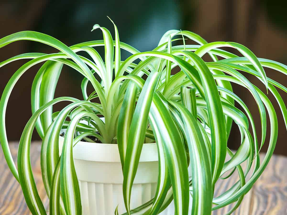 spider plants are easy to maintain and look great in hanging baskets