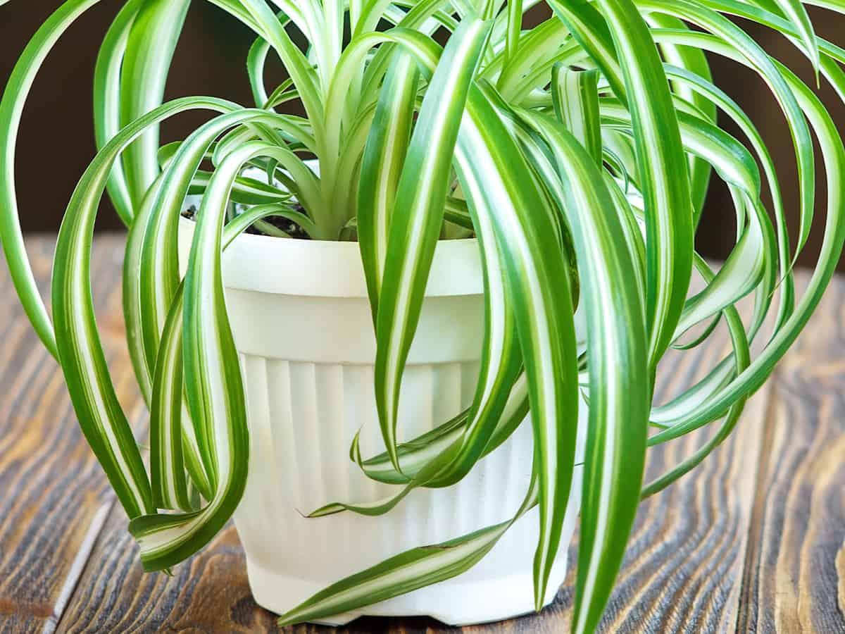spider plant prefers low light