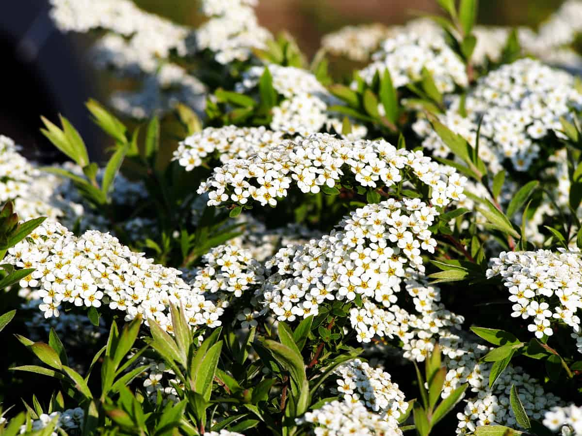 spirea is low maintenance and spreads quickly
