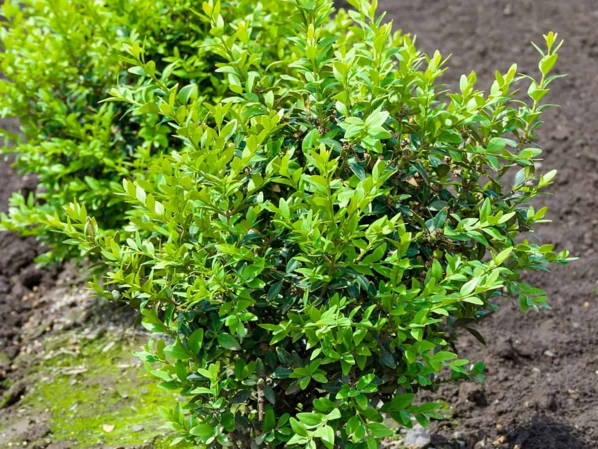 the sprinter boxwood is a fast-growing evergreen bush