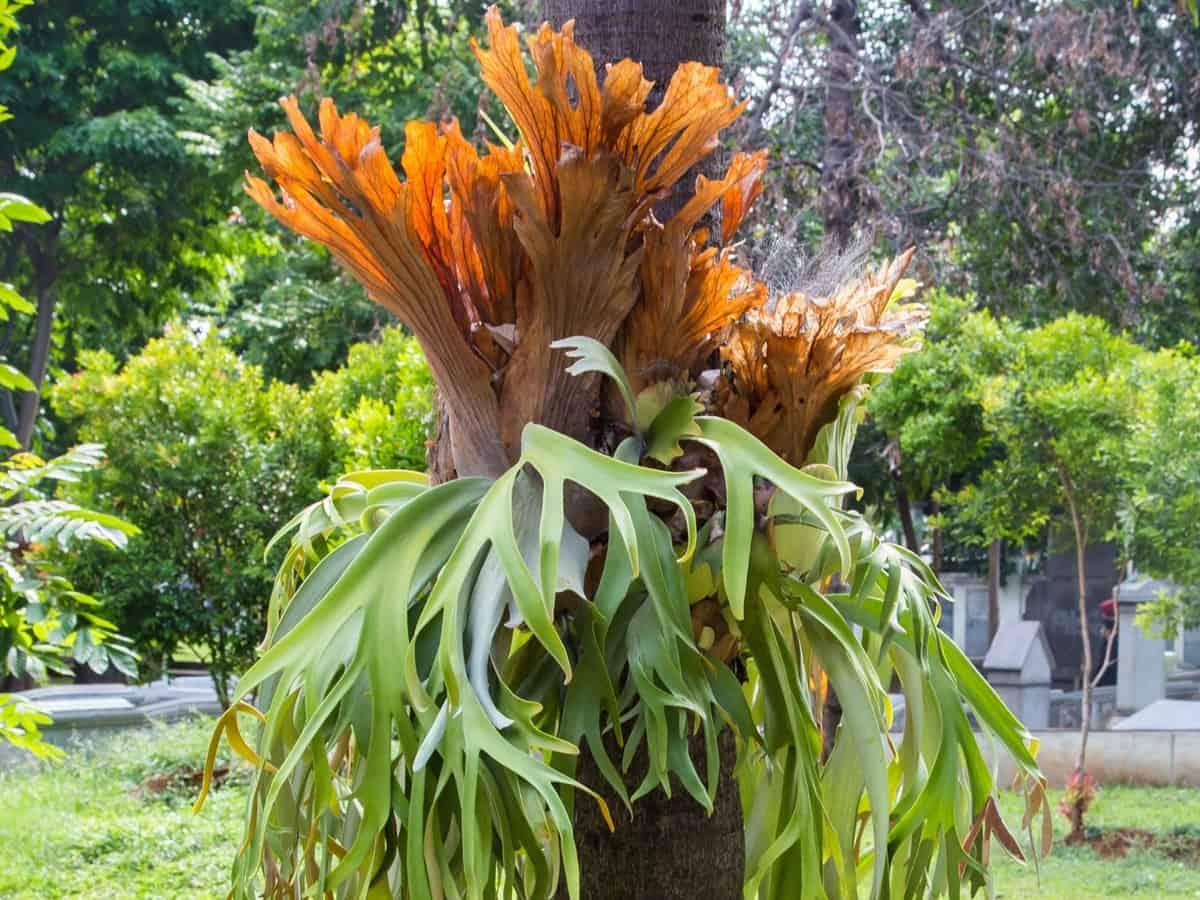 staghorn fern has unusual leaves
