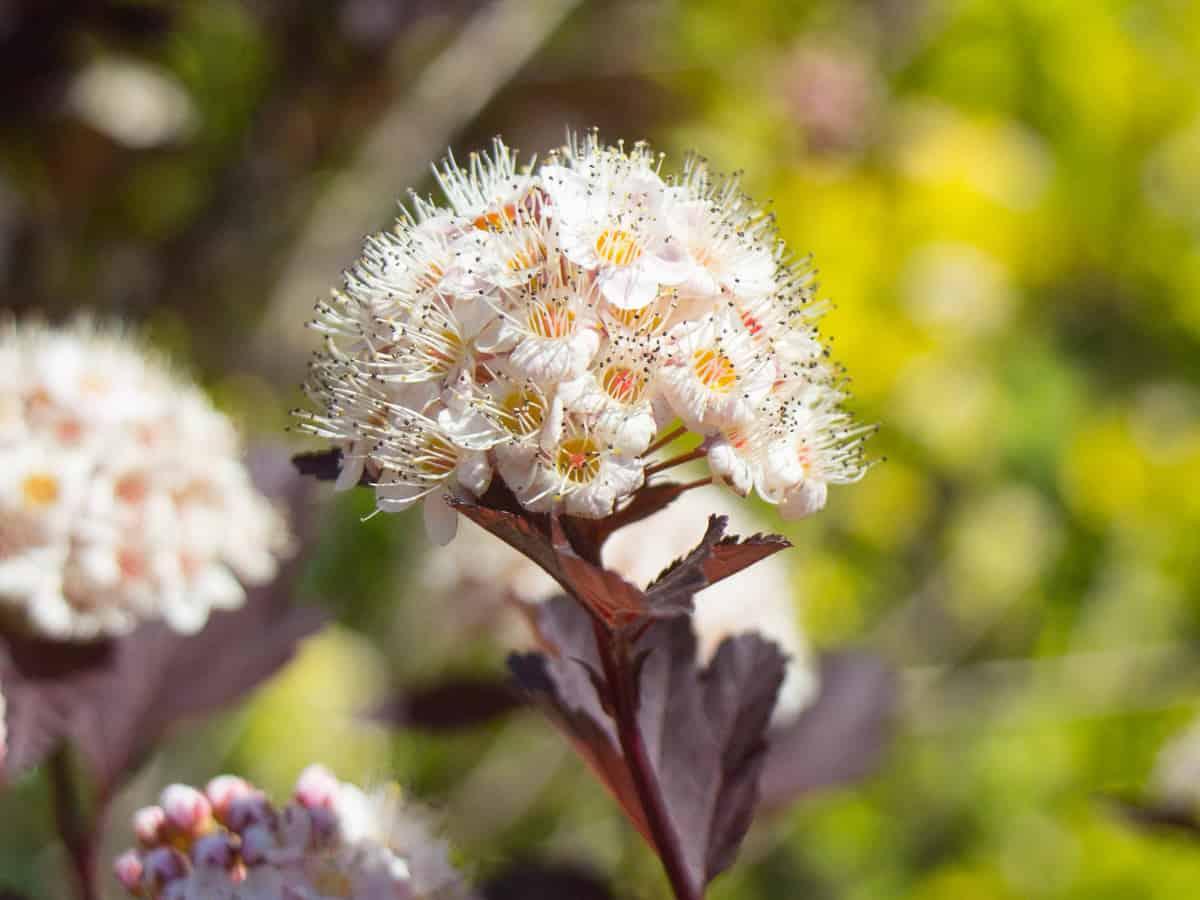 the summer blooming wine ninebark has beautiful foliage, flowers, and berries