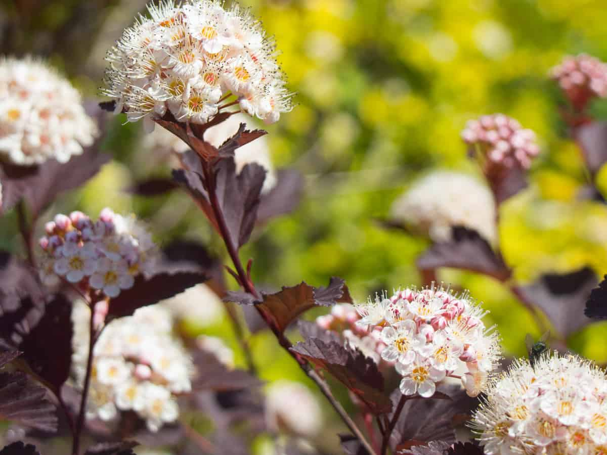 summer blooming wine ninebark is a pretty dwarf shrub to landscape your small garden