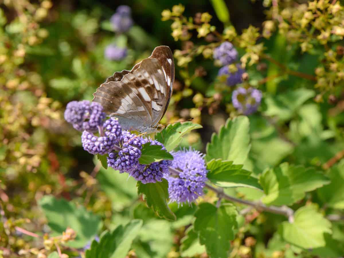 sunshine blue bluebeard is a gorgeous flowering shrub