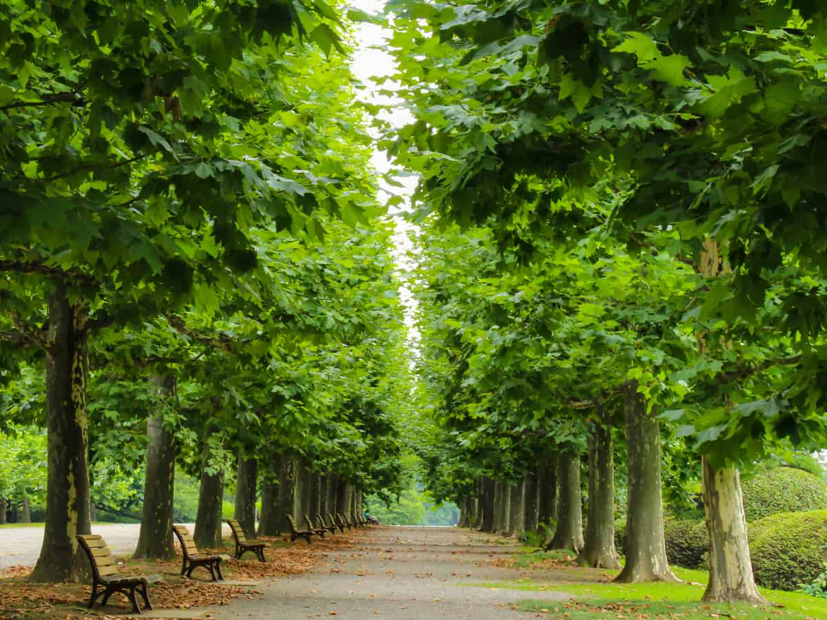 superior hybrid poplar is a fast grower