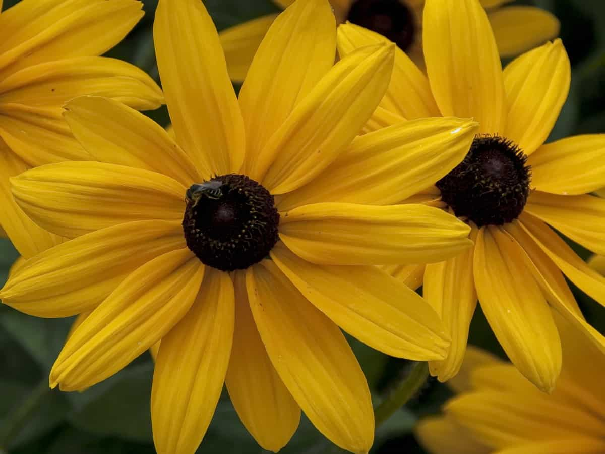 the black-eyed Susan is very low maintenance