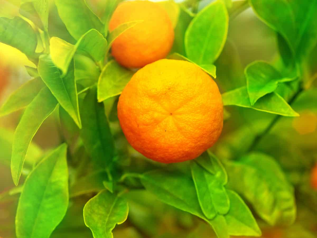 tangerine tree to grow at home