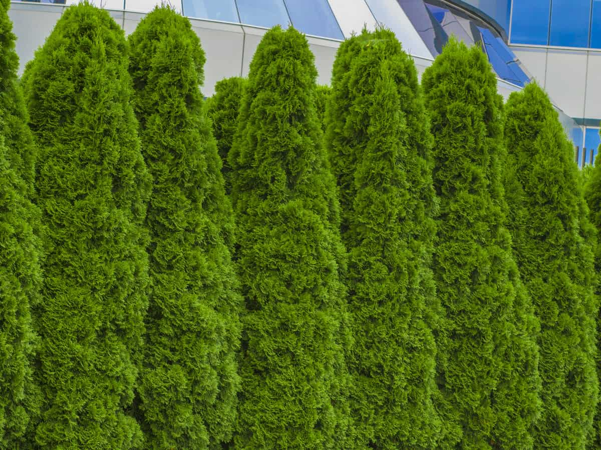 17 Fast Growing Privacy Bushes To Deal With Nosy Neighbors