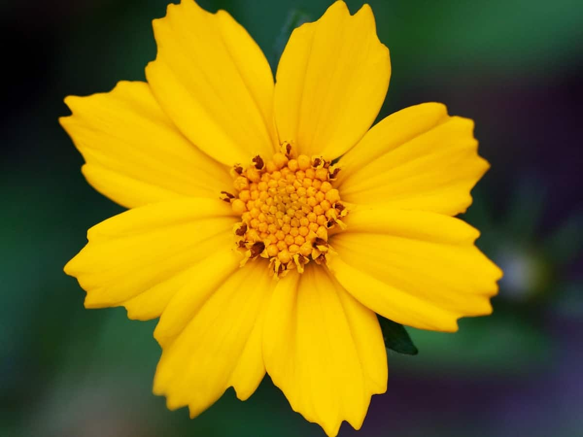tickseed or coreopsis - a perennial that needs little care