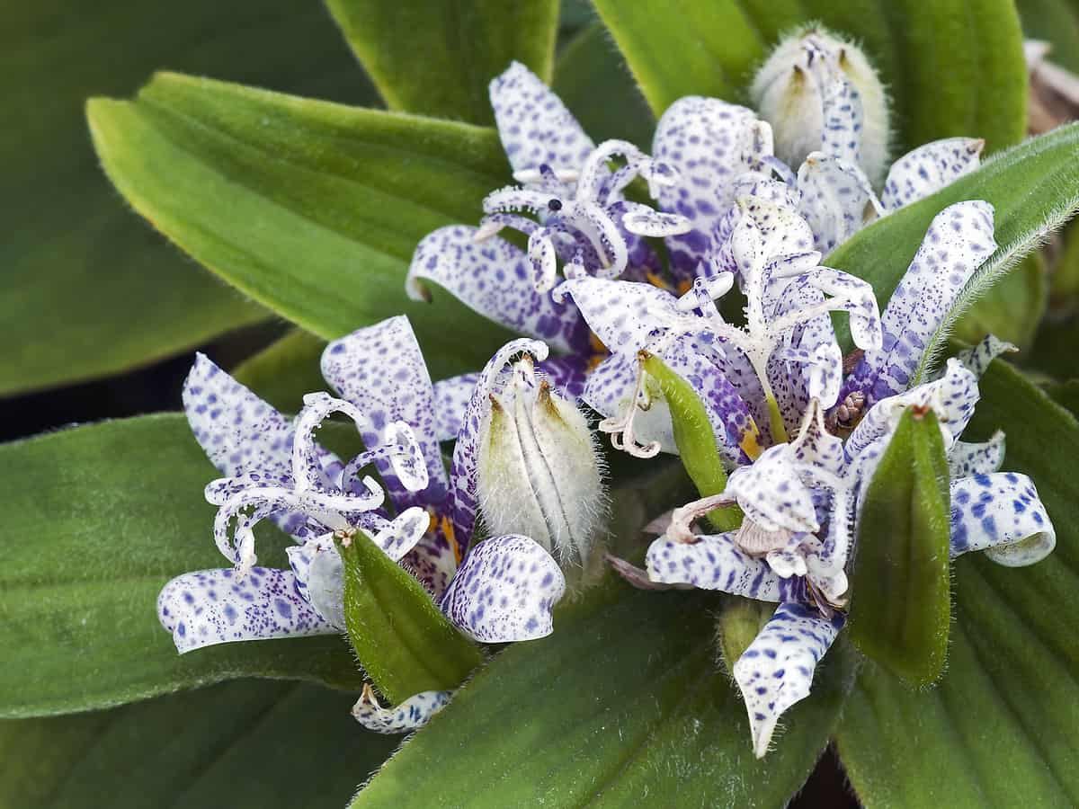 the toad lily has lovely orchid-like flowers