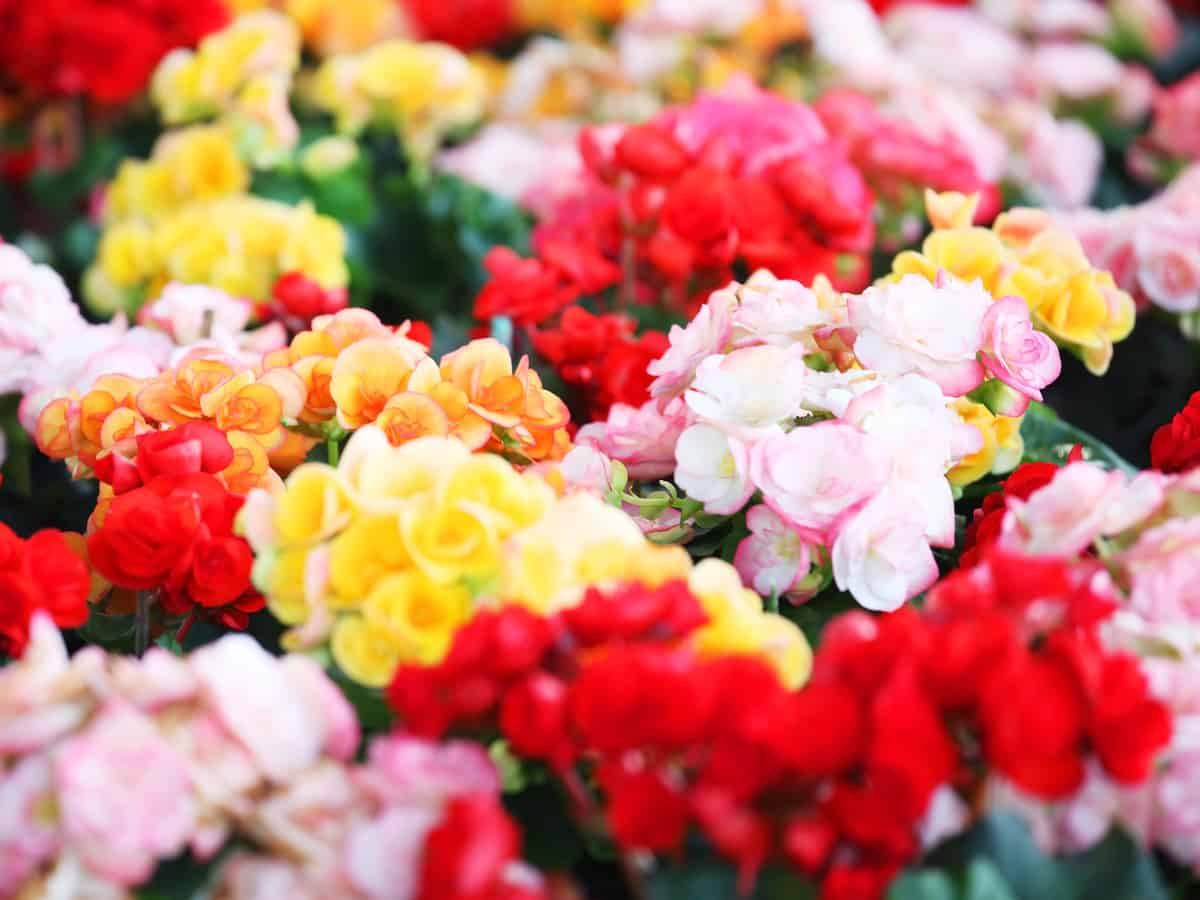 tuberous begonias are a great shade plant for pots