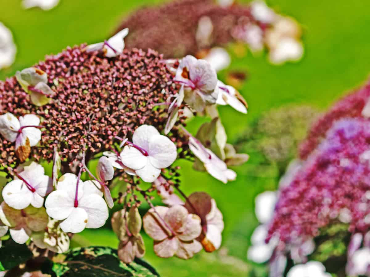 tuff stuff mountain hydrangea is a shrub that can survive in harsh climates
