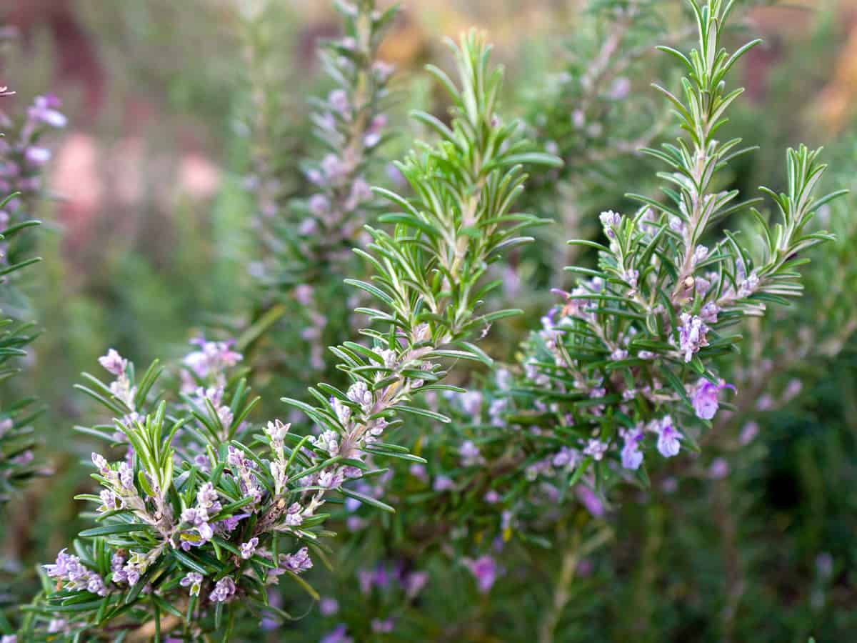 Tuscan blue rosemary makes a great informal evergreen hedge