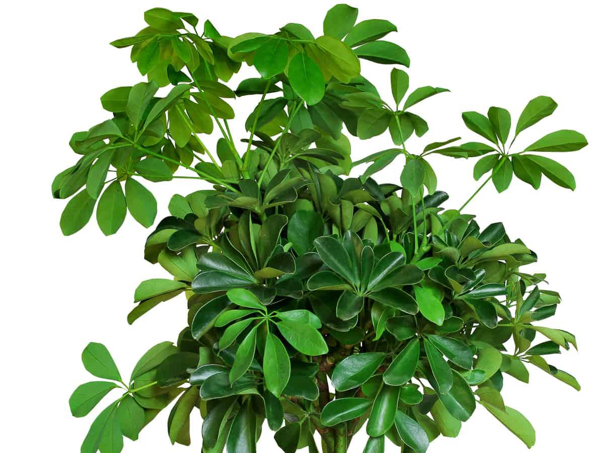 umbrella tree is an attractive tropical shrub