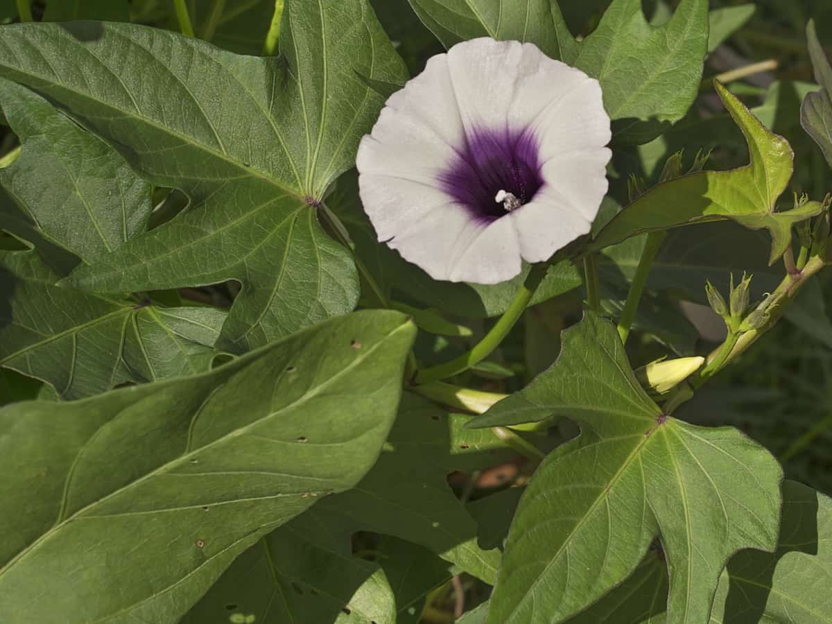 sweet potato vine is the perfect plant for pots