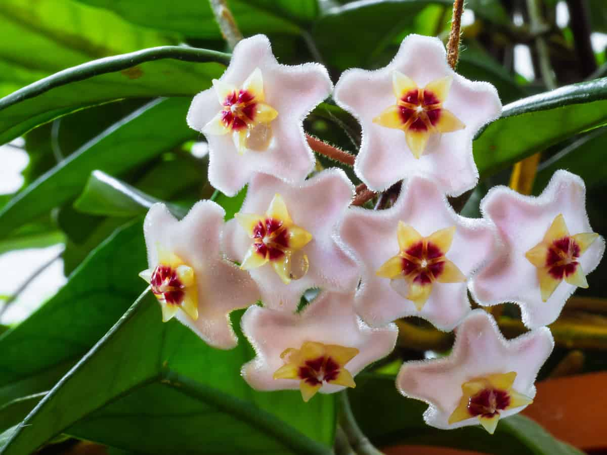 wax plant is also known as the hoya