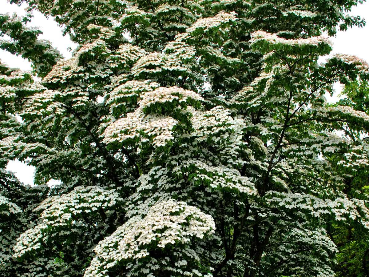 white Kousa dogwood flowering tree has red berries