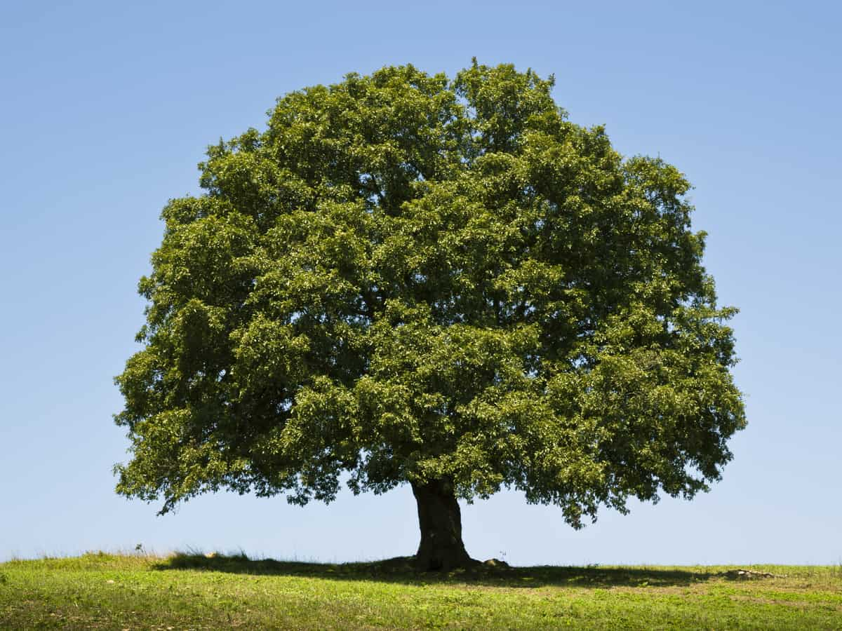 the white oak has the potential for massive growth