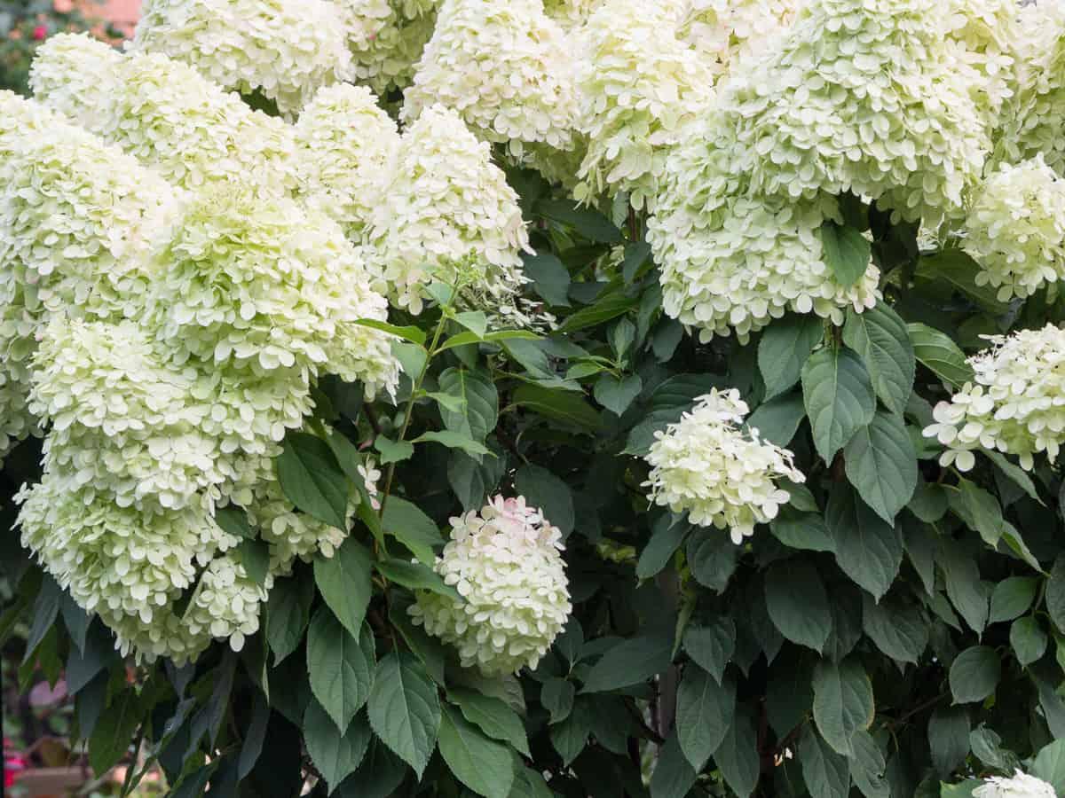 the white panicle hydrangea is a pretty privacy bush