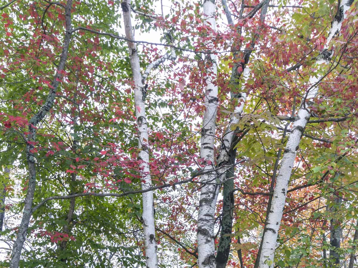 white paper birch offers shade and flowers