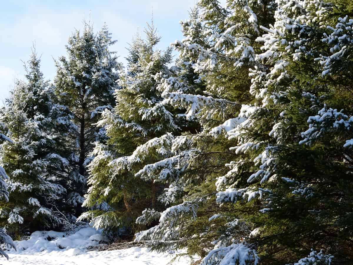 the blue-green color of the white spruce makes it a popular choice for a landscape