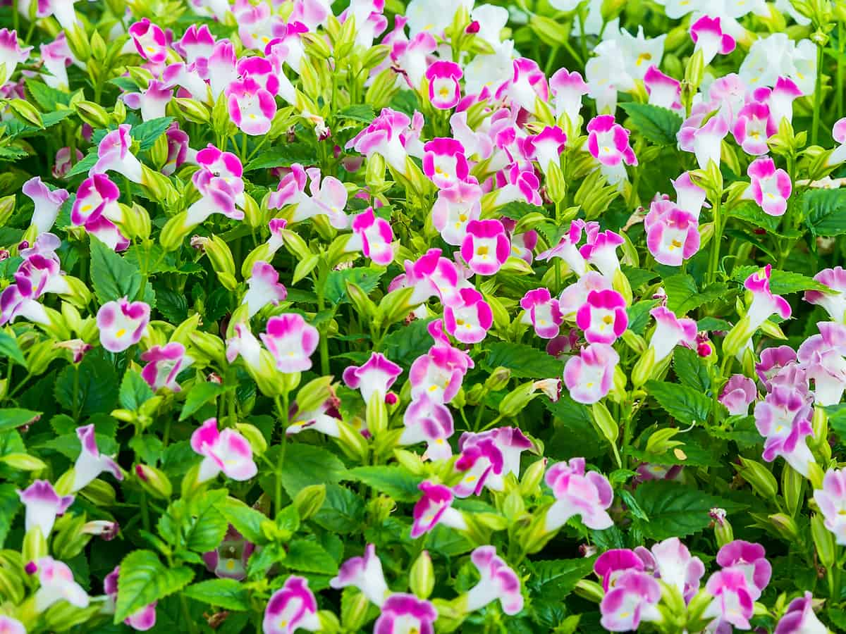 wishbone flower is a shade-loving container plant