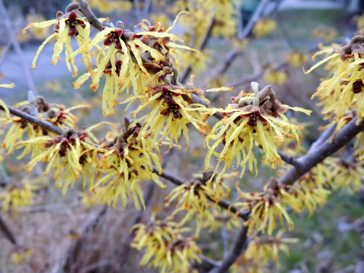 vernal witch hazel is a deciduous shrub with medicinal properties