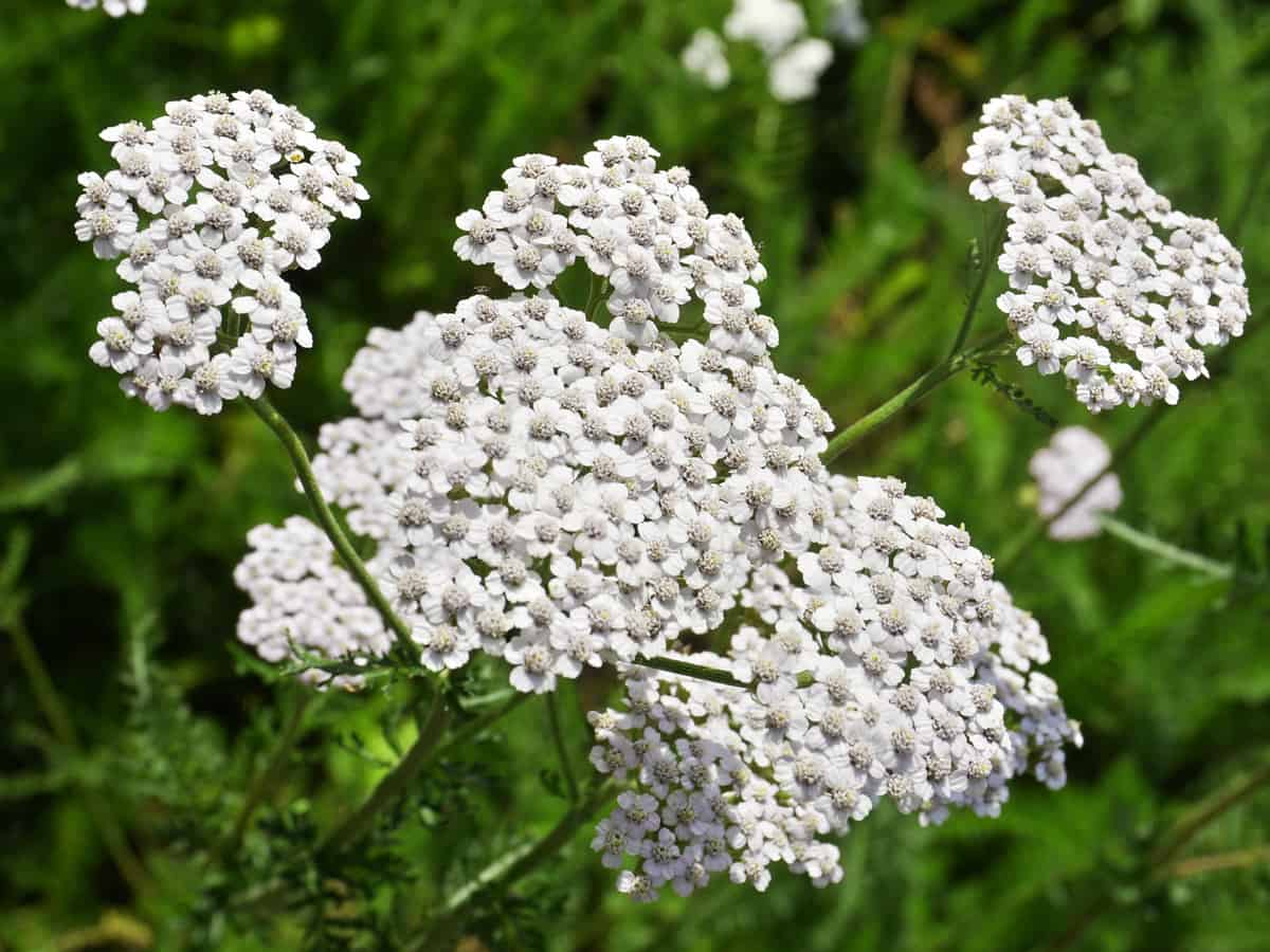 yarrow grows best in full sun