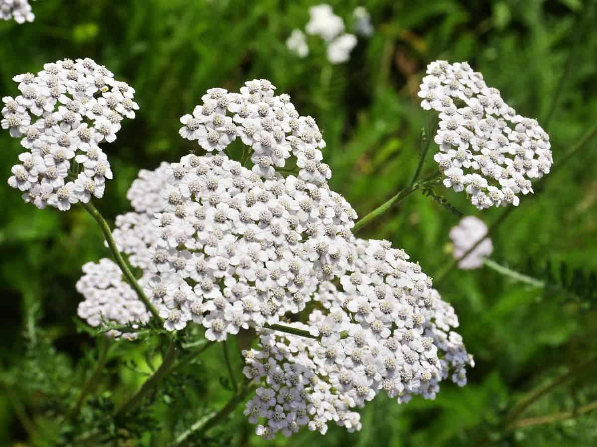 yarrow is a fragrant perennial flower