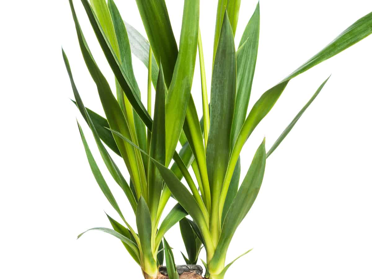 yucca cane has sword-like leaves that won't hurt cats