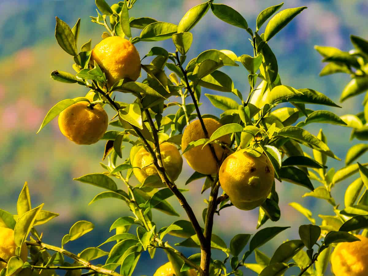 fruits from the Yuzu citrus tree can sub for lemons and limes