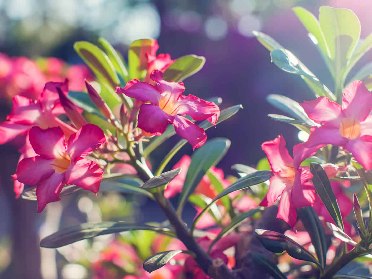 adenium is also known as the desert rose