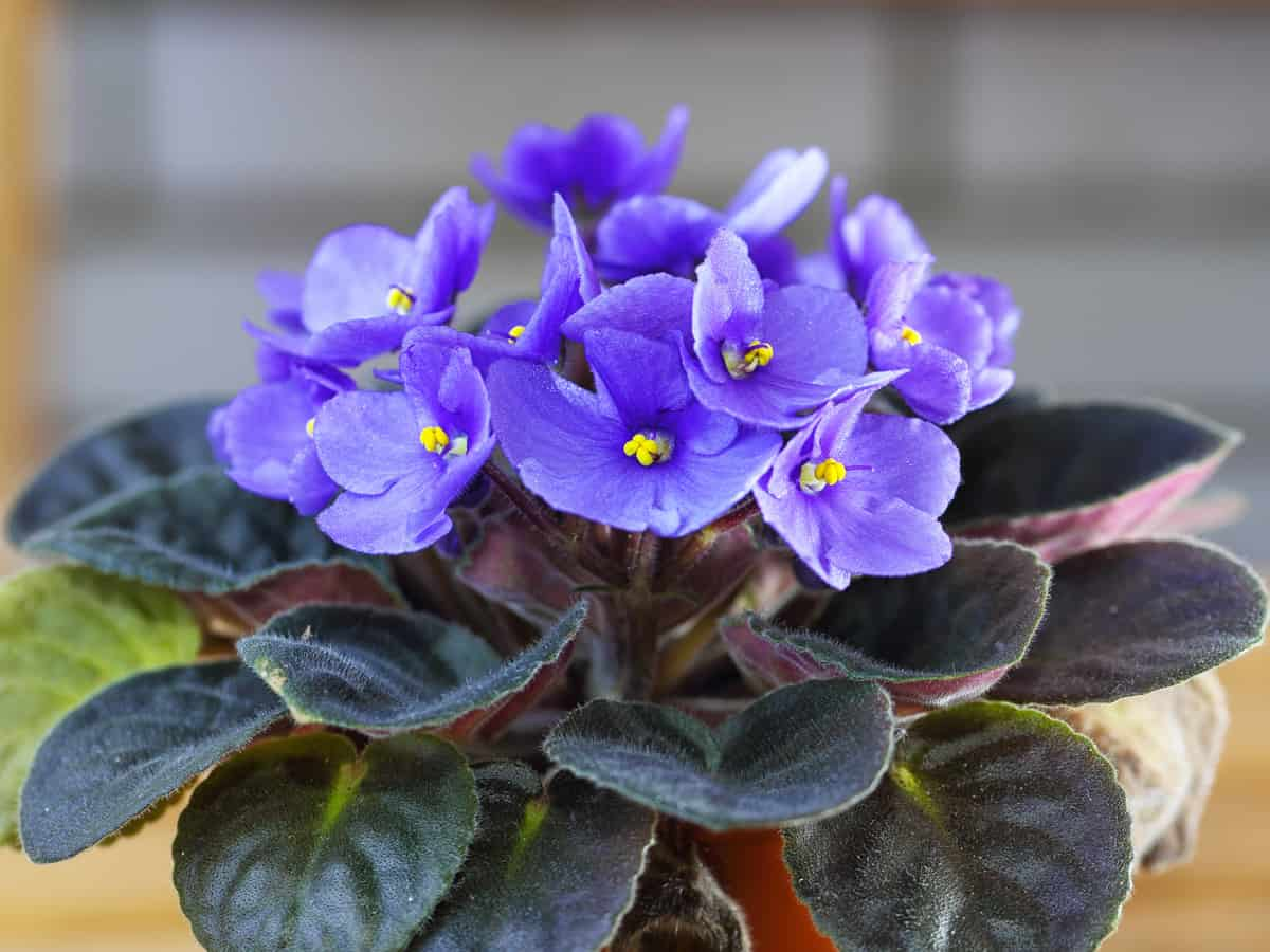 the African violet needs medium light to thrive