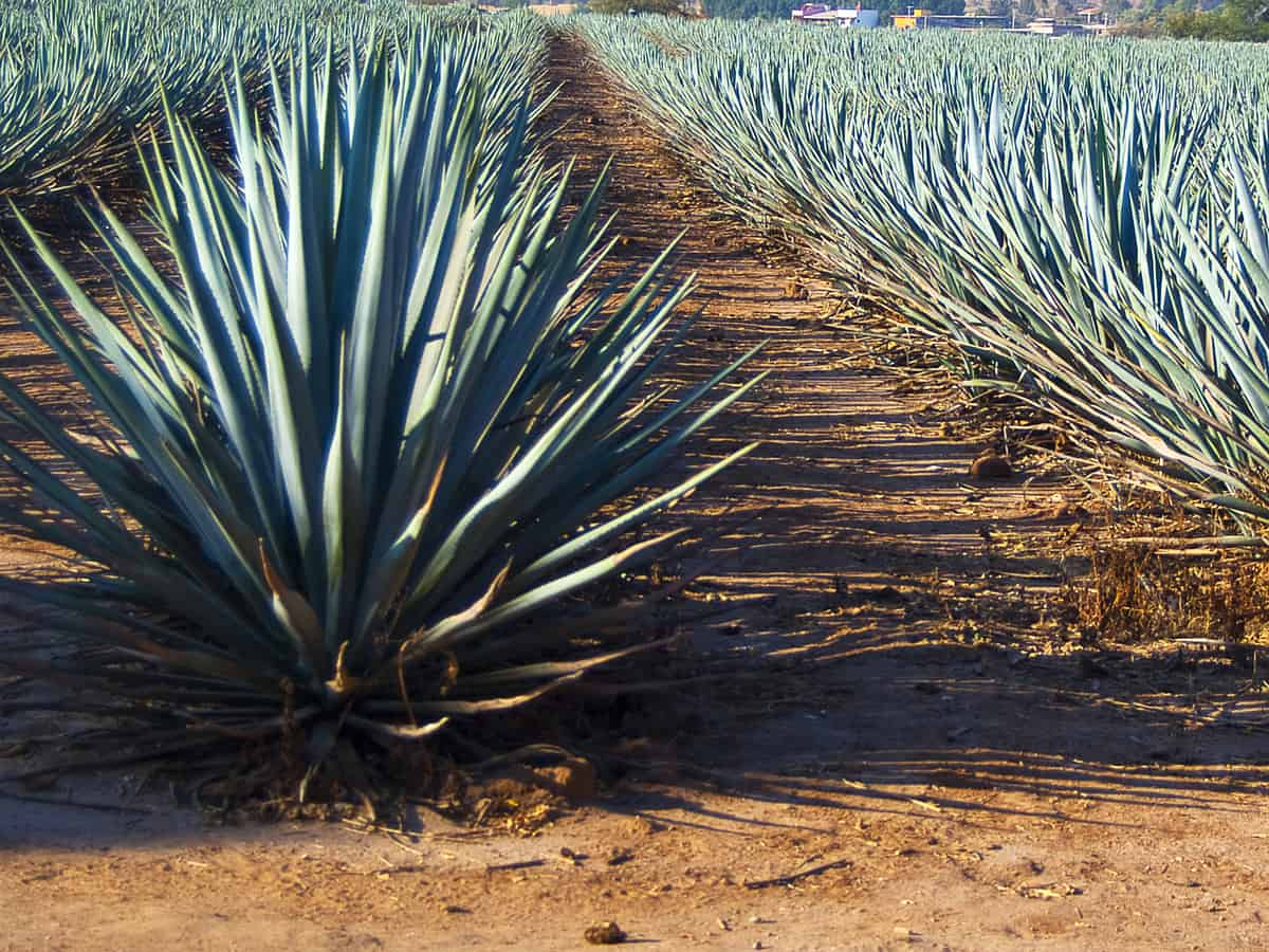 agave is an easy-to-care for drought resistant plant